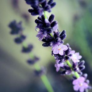 lavender__by_LittleBlackUmbrella