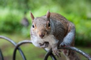 crazy_gray_squirrel by Engazung via www.deviantart.com