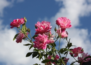 Pink Roses against the September sky by Randy Cockrell
