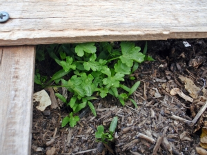February, Gardening, Parsley, Connie Cockrell