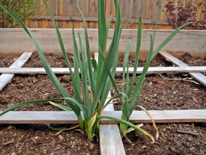 February, Gardening, Spring Onions, Connie Cockrell