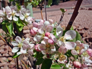 Apple Blossoms, Connie Cockrell