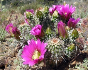 Cactus, Flowers, Randy Cockrell